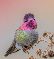 Tiny Portrait. (Omygodtom) Tags: natural asia gold design annashummingbird wildlife bird nikon70300mmvrlens d7100 portrait usgs