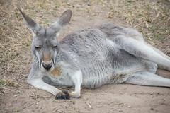 Australia_2018-43.jpg (emmachachere) Tags: subtropical trees hike waterfall boatride springbrook australia rainforest kanagroo animals koala brisbane boat lonepinekoalasanctuary