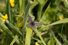 Small Blue (Martin F Hughes) Tags: martin hughes canon 7d mkii mk2 portland dorset butterfly insect small blue little