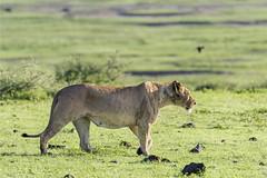 Stalking lioness (tmeallen) Tags: lioness adult pantheraleo profile stalking greengrass calderafloor wildlife safari rainyseason ngorongorocrater tanzania eastafrica