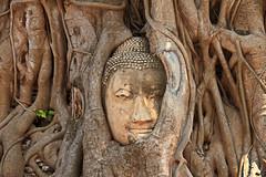 Buddha and Roots in Ayutthaya, Thailand (Chandana Witharanage) Tags: thailand northernthailand ayutthaya capital kingdomofsiam historicalpark archaeologicalsite palacesbuddhisttemplesmonasteriesstatues sukhothai unescoworldheritagesite phranakhonsiayuthhaya ancientcapital centralplains 85kmnorthofbangkok buddha buddhahead roots tourist touristattraction mostphotographedobbjectinthailand canoneos7d efs18200mmf3556is chandanawitharanagephotography