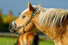 Auf der Pferdekoppel (Foto Dirk Schermuly) Tags: pferde natur horse lecheval elcaballo ilcavallo nikon digital drausen outdoors deutschland germany animal labrute elanimal labestia