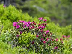P6081269 (turbok) Tags: almrausch alpenpflanzen pflanze wildpflanzen c kurt krimberger