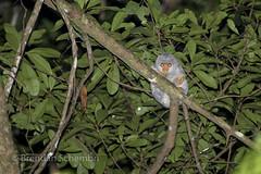 Common Spotted Cuscus (Spilocuscus maculatus) (Brendan Schembri) Tags: spilocuscus maculatus cuscus spotted marsupial australia brendanschembri