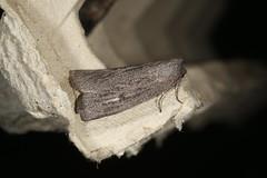 Paralaea ochrosoma (dhobern) Tags: 2018 act aranda australia lepidoptera may geometridae ennominae nacophorini paralaeaochrosoma