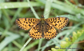 Small Pearl Bordered- flat and still 8AM