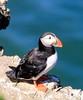 Another Flamborough Puffin (joannekerry) Tags: yorkshirewildlifetrust flamborough puffin coastal coast wildlife canon