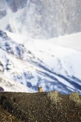 La Casa de la Puma (Glatz Nature Photography) Tags: chile glatznaturephotography magallanes nature nikond850 patagonia southamerica torresdelpainenationalpark wildanimal wildlife mountains puma cougar panther mountainlion pumaconcolor felisconcolor eyecontact