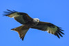 red kite (Paul Wrights Reserved) Tags: redkite redkiteinflight bird birding birdphotography birds birdwatching birdinflight birdofprey birdofpreyinflight flying fly inflight flight