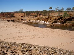 Day 4 waterhole and cattle