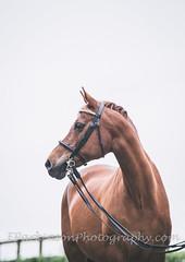 Sophie (eparkinsonphotography.com) Tags: eye horse equine highkey bridle chestnut mare