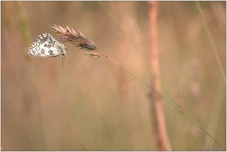 Demi-deuil - Marbled white (Melanargia galathea)
