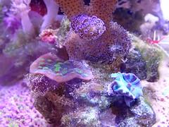 Chalice and Stylophora (La South Paw) Tags: saltwater aquarium chalice acropora