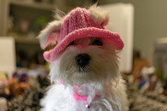 I haz a pink hat!! (Dotsy McCurly) Tags: canoneos80d efs35mmf28macroisstm bunny cute dog puppy maltese pink crochet hand made handmade hat smileonsaturday hatsandco hsos doghatwithholesforears