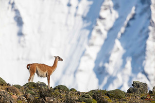Guanaco On the Edge