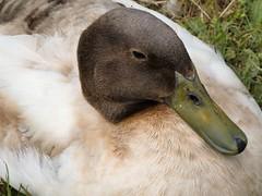 Duck (Deanne Wildsmith) Tags: duck stowepool lichfield staffordshire earthnaturelife