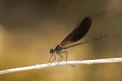 Elegancia (Aristides Díaz) Tags: insecto macro damselfly caballitodeldiablo bokeh pdc vidasilvestre granada andalucía sigmaapo180macrof56 calopteryxhaemorrhoidalis arroyodehuélago