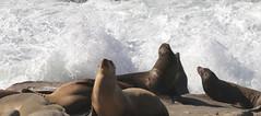 Sea lions and waves (JonSalim) Tags: sea lions san diego beach sealions sandiego sandiegosealions lajollacove seelöven