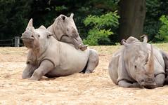 White Rhino Burgerszoo JN6A6500 (j.a.kok) Tags: rhino rhinoceros rhinocerosunicornis whiterhino witteneushoorn neushoorn breedlipneushoorn burgerszoo animal africa afrika mammal zoogdier dier herbivore