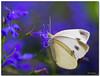 Grosser Kohlweissling (dolorix) Tags: dolorix schmetterling butterfly largecabbagewhite pierisbrassicae grosserkohlweissling