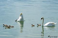 Cherche pas, je te dit que les six sont là ! :-) (Jean-Daniel David) Tags: oiseau oiseaudeau cygne cygneau lac lacdeneuchâtel yvonand eau famille bébé cygnon blanc gris reflet suisse suisseromande vaud