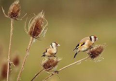 Goldfinches on the Teasel feeding (Bogger3.) Tags: goldfinchs venuspool teasel seeds feeding canon7dmk2 tamron150x600lens fullzoom coth coth5 ngc
