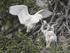 Queueing Up (pandatub) Tags: bird birds egret snowyegret lakeshorepark chick
