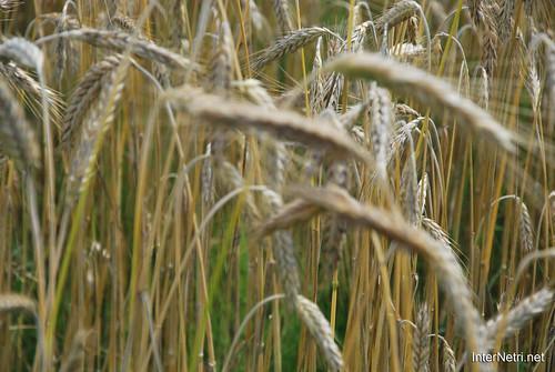 Пшениця, жито, овес InterNetri  Ukraine 035