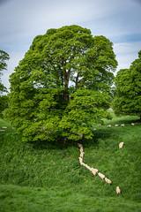 Sheep at Avebury (AppleTV.1488) Tags: avebury henge neolithic prehistoric sheep stonecircle stonehenge stonemonument trees westkennetavenue woodland worldheritagesite appletv1488 2018 may 12052018 12may2018 12 nikond7100 18250mmf3563 39mmfocallength35mm am noflash portraitapectratio f80 ¹⁄₈₀secatf80