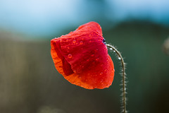 ɢʟᴏᴏᴍʏ (der_peste (on/off)) Tags: poppy drops waterdrops macro flower bokeh dof nature red blue green color colour gloomy moody