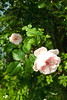 Roses @ SE22 (Adam Swaine) Tags: roses gardens naturelovers nature seasons london canon flowers flora petals beautiful england english eastdulwich britain british uk pinkgreen