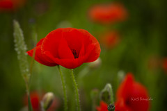 Spanish poppy (K&S-Fotografie) Tags: mohnblume mohnfeld poppy poppyfield spanien mallorca summer sun gräser grasses holiday urlaub makro blume