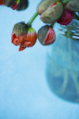 Be still (alideniese) Tags: flora flowers poppies 7dwf closeup vase jar glass stilllife bokeh bunch alideniese colourful red blue focus flowerstheme detail buds texture foreground hanging macromademoiselle
