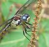 Great blue skimmer, female - foty (Vicki's Nature) Tags: greatblueskimmer female big dragonfly purpleeyes weed plant biello georgia vickisnature canon s5 4695 closeup foty