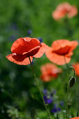 Field poppies (Kapitalist63) Tags: poppies flowers field color red cluster meadow nature plants beauty yupiter37