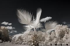 Palm Tree (gporada) Tags: palme infrared hohenheimgardens palmtree nikond40 nikon irfilter720nm