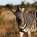 Zebra. Pilanesberg, South Africa.