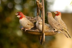 sunday lunch with the family... (peet-astn) Tags: garden birds autumn feed red food lunch family redheadedquelea redheaded quelea