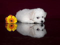 Take a Peek (amirpaz) Tags: white studio lighting flash photography puppy dog bichon frize animals pets show