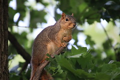 Squirrels in Ann Arbor at the University of Michigan (June 4th, 2018) (cseeman) Tags: gobluesquirrels squirrels annarbor michigan animal campus universityofmichigan umsquirrels06042018 spring eating peanut juneumsquirrel juveniles juvenilesquirrels figurehead squirrelfigurehead