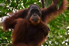 Orangutans in Sumatra (matthewlamery) Tags: bukitlawang primates primate sumatra indonesia forest rainforest jungle wild wildlife tree sitting asia southeastasia island animal mammal sanctuary gunungleusernationalpark nationalpark orangutan orangutans portrait