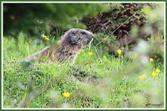Marmotte 180606-00-P (paul.vetter) Tags: animal rongeur marmotte mammifère sciuridé marmotamarmota groundhog murmeltier marmota