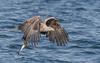 White-tailed Eagle (tickspics ) Tags: lochtuath birds eagles whitetailedeagle scotland isleofmull uk argyllandbute accipitridae haliaeetusalbicilla innerhebrides mull whitetailedseaeagle