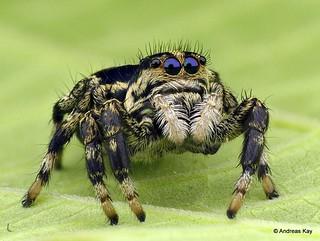 Jumping spider, Phiale guttata? Salticidae