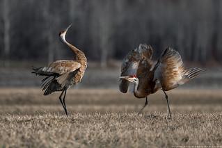 Sandhill Cranes / Grues du Canada