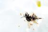 ツツジとハチーAzalea and bee (kurumaebi) Tags: yamaguchi 秋穂 山口市 nikon d750 nature macro マクロ bee azalea ツツジ ハチ