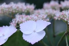 White petal (yukky89_yamashita) Tags: 大阪 吹田市 万博記念公園 自然文化園 hydrangea flowers osaka japan suita park expo70