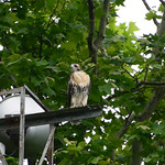 Final GT Hawk Nestling - 0971 thumbnail