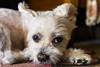 _DSC0466 (m.krema) Tags: melegnano lombardia italia it aramis colore interno animali cane maltese bianco riposo