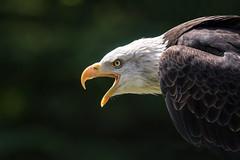 Baldie (CJH Natural) Tags: baldeagle weiskopfseeadler haliaeetusleucocephalus eagle call bird predator hunter nature bokeh headshot